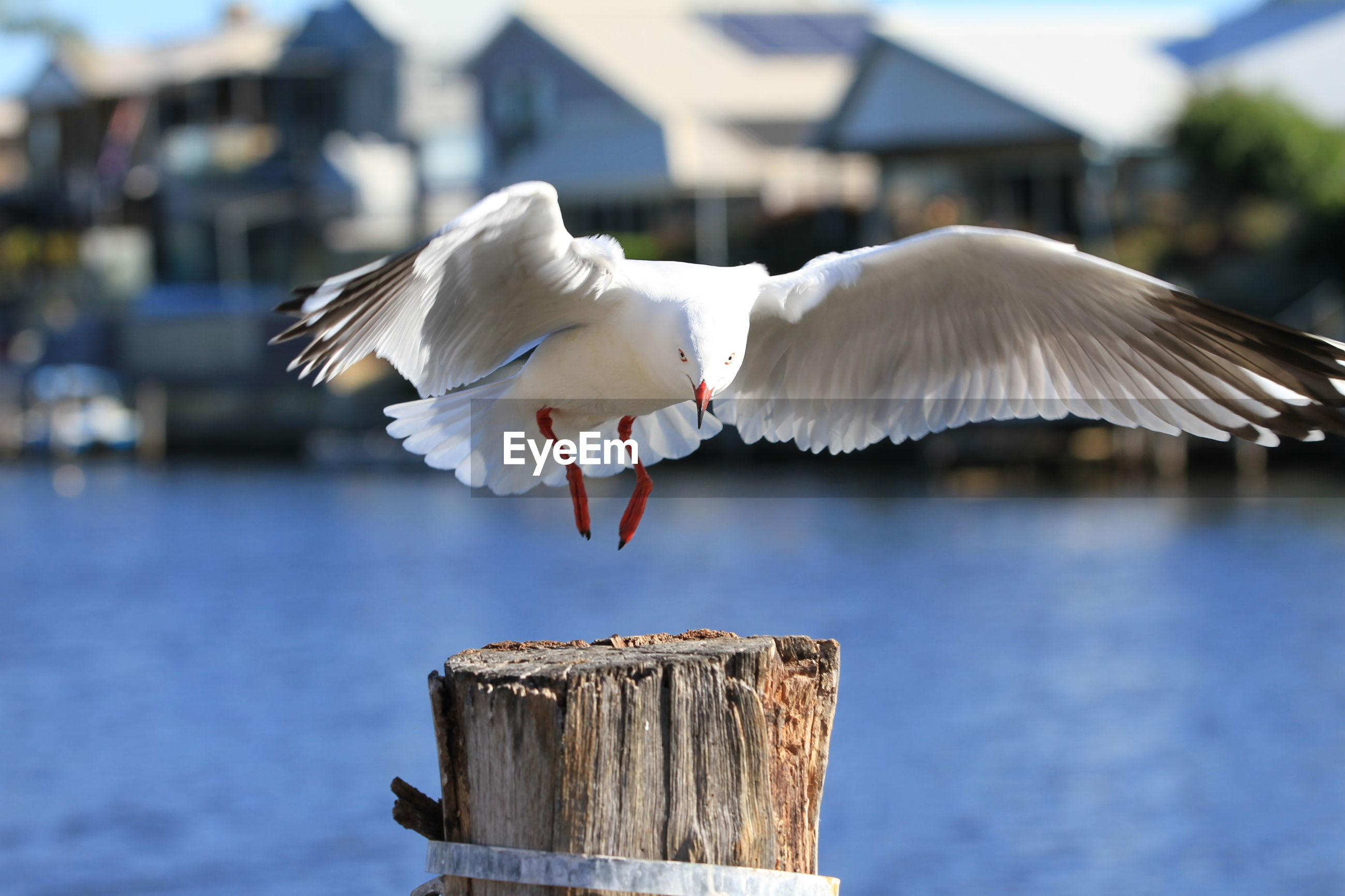 SEAGULL FLYING OVER WOODEN POST WITH REFLECTION