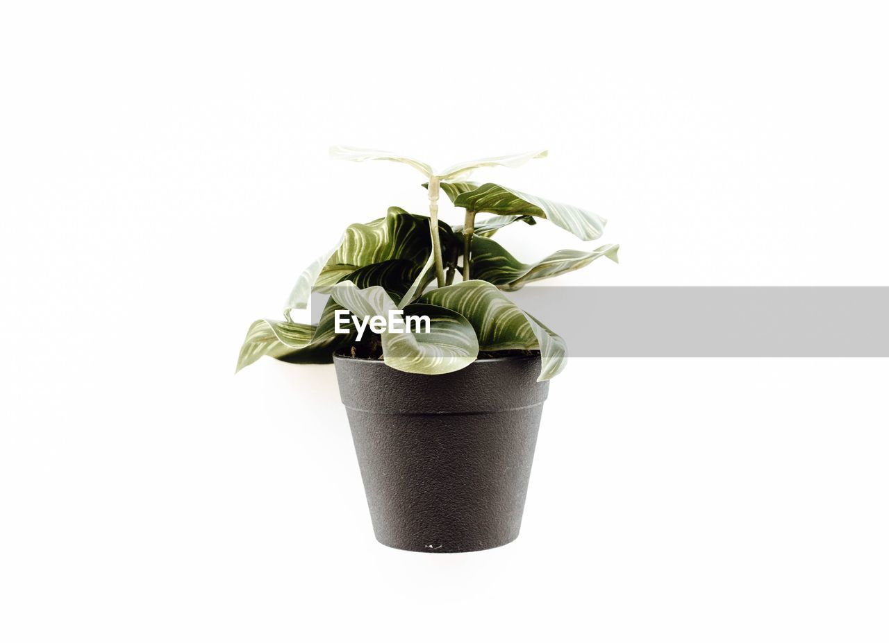 white background, studio shot, plant, indoors, potted plant, copy space, cut out, growth, leaf, plant part, no people, green color, nature, close-up, still life, beauty in nature, freshness, flower, vulnerability, fragility, flower pot, houseplant, small