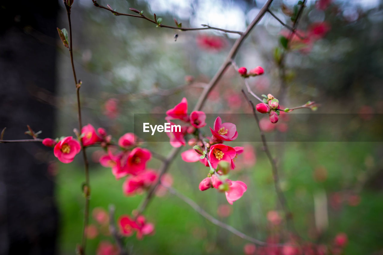plant, pink color, flower, flowering plant, growth, freshness, beauty in nature, fragility, close-up, nature, focus on foreground, tree, day, vulnerability, no people, branch, twig, petal, outdoors, selective focus, springtime, flower head, cherry blossom
