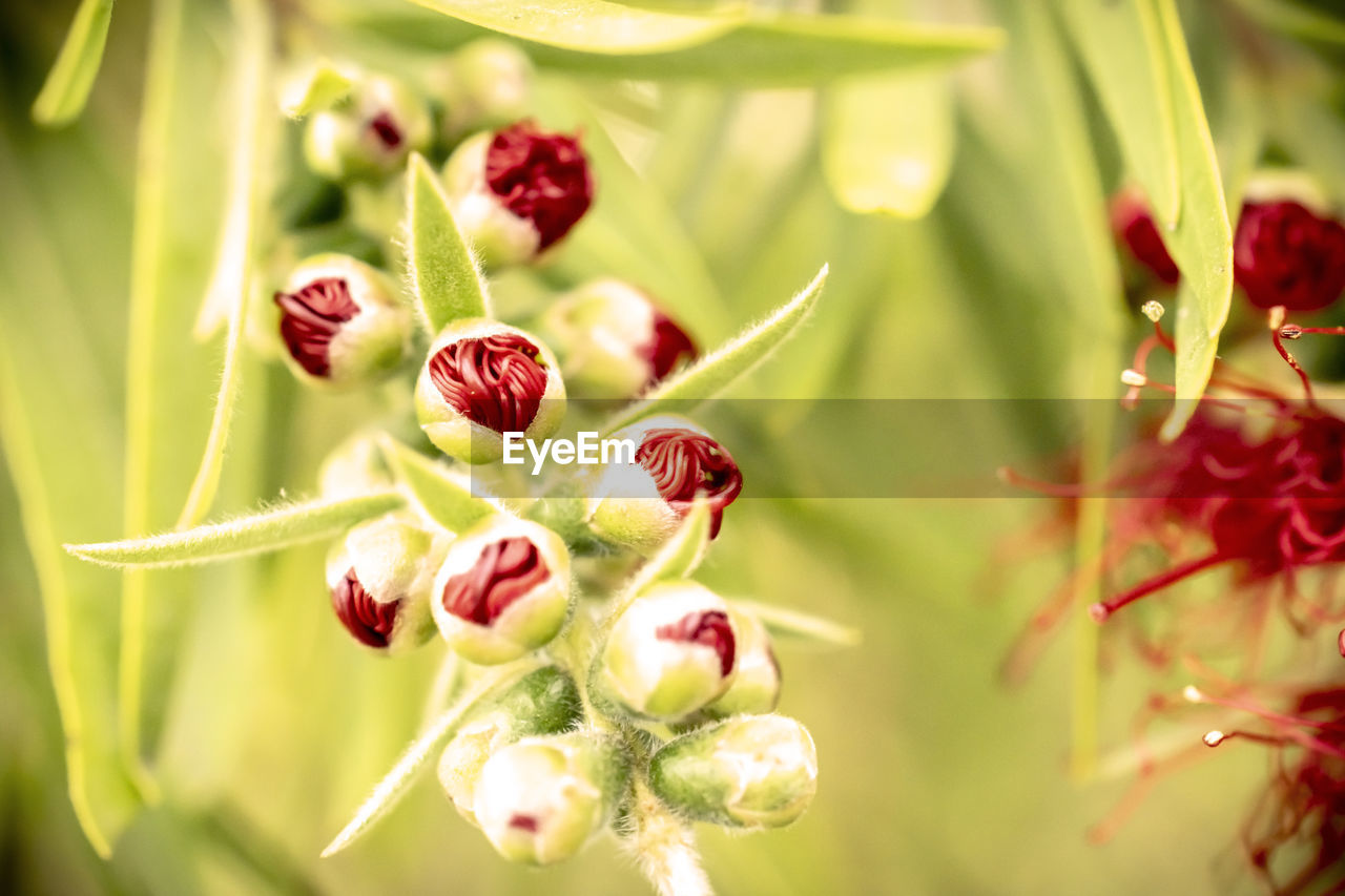 plant, close-up, selective focus, beauty in nature, freshness, growth, red, vulnerability, fragility, flower, no people, nature, day, food and drink, flowering plant, green color, food, focus on foreground, healthy eating, berry fruit, flower head