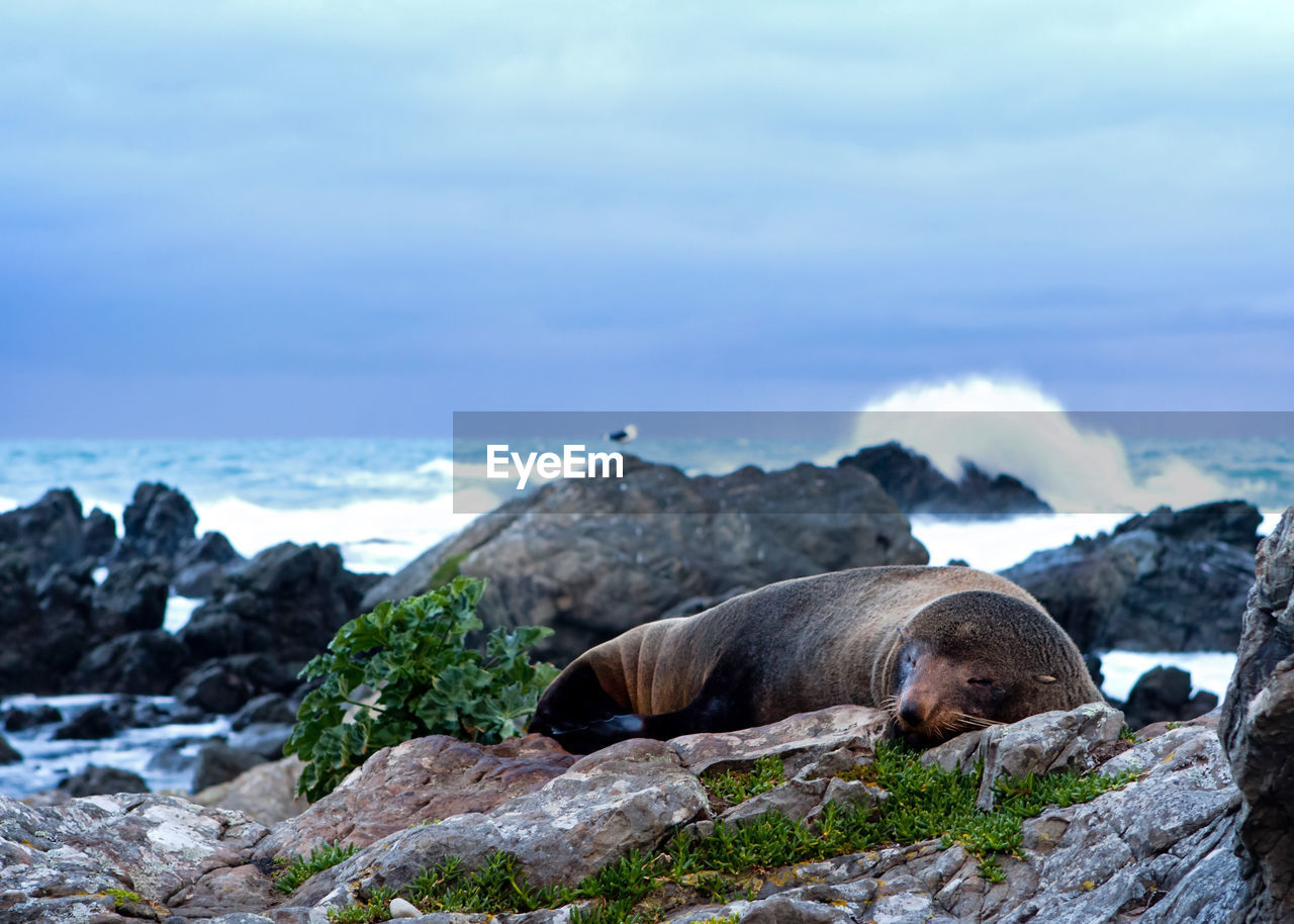 View of sea lion sleeping on rocks at coast