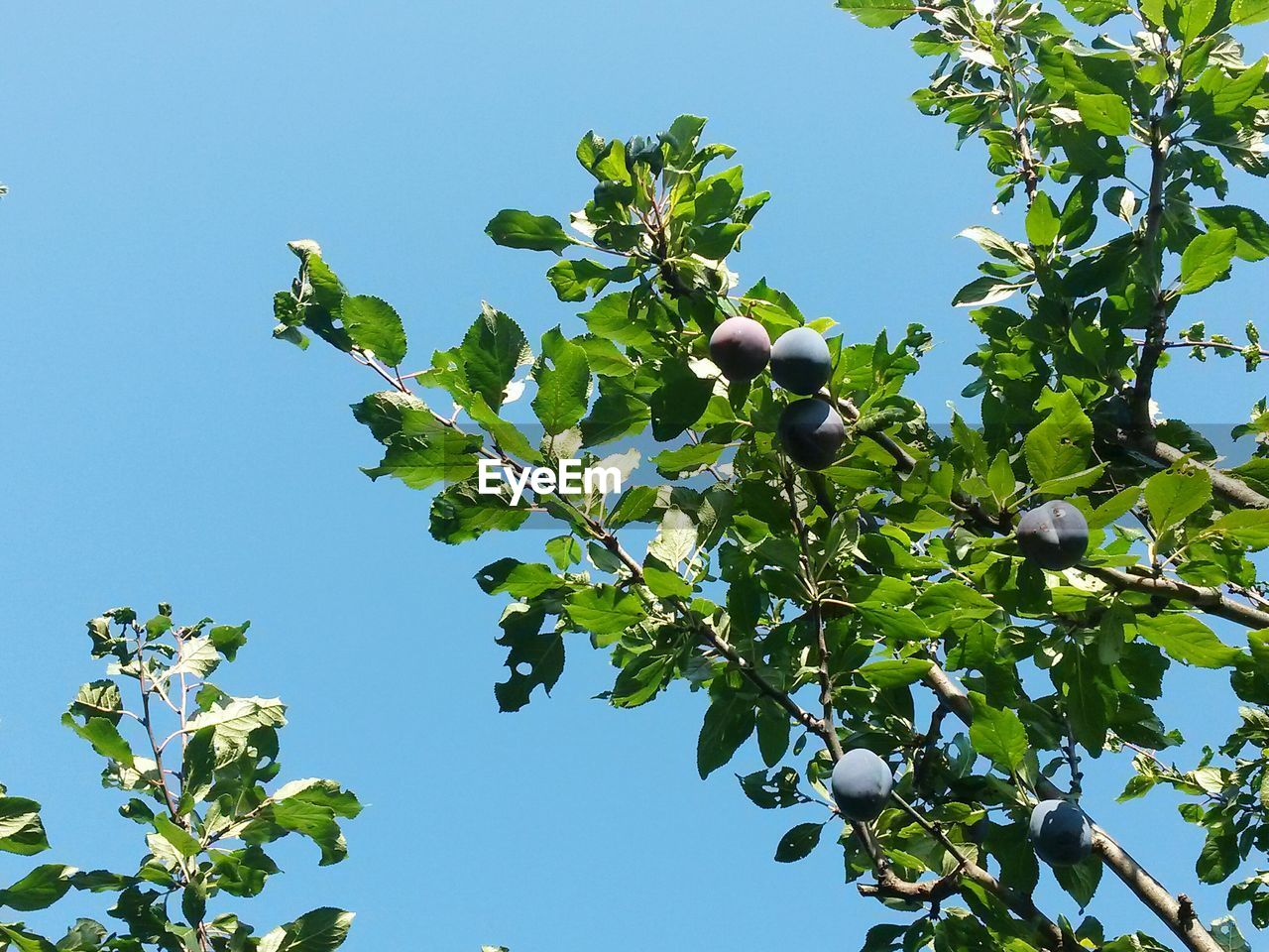 fruit, leaf, growth, low angle view, food and drink, clear sky, green color, food, day, tree, no people, outdoors, freshness, nature, plant, healthy eating, agriculture, blue, branch, beauty in nature, sky, close-up
