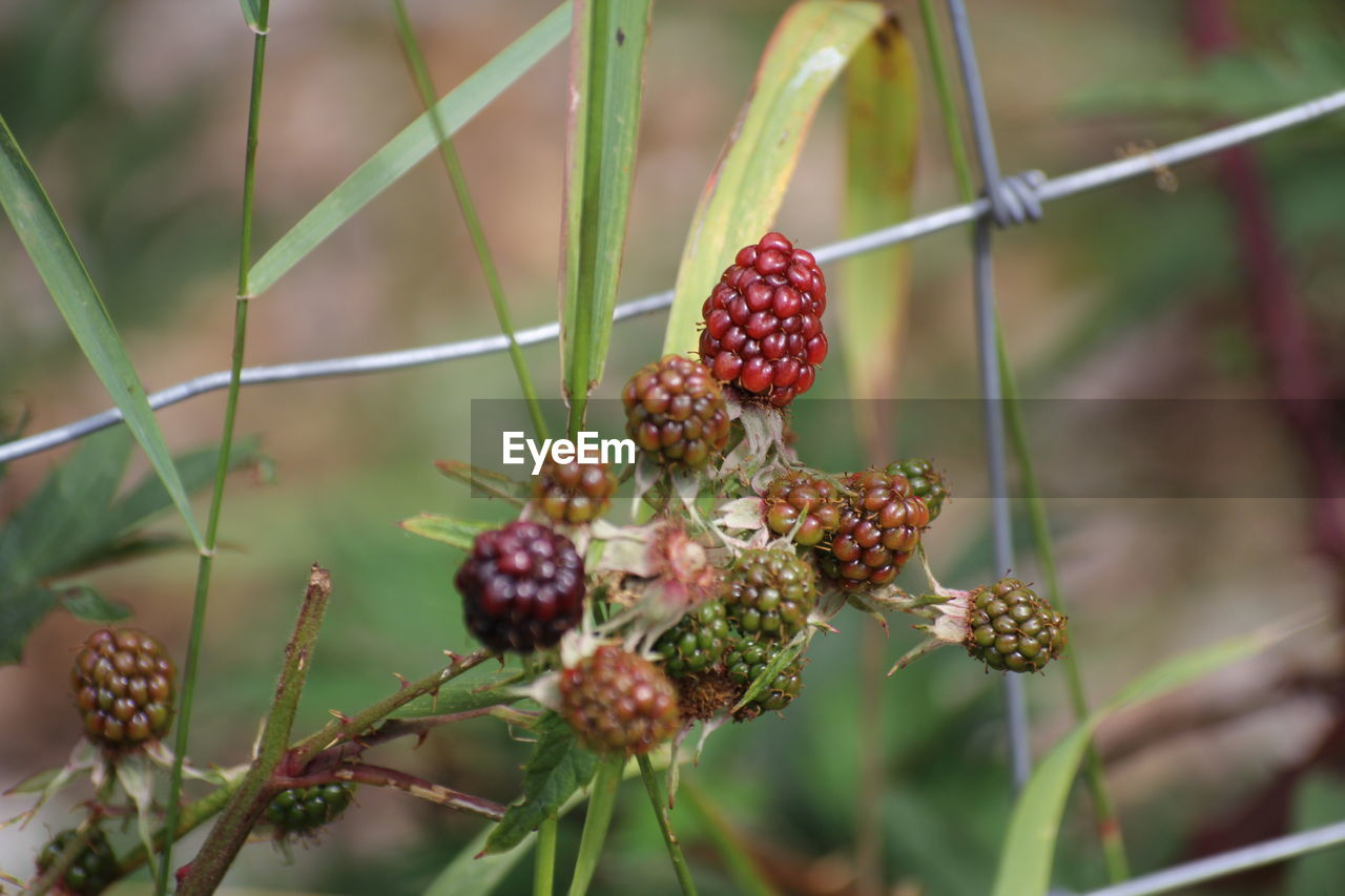 food, fruit, food and drink, healthy eating, freshness, berry fruit, plant, growth, red, close-up, day, focus on foreground, wellbeing, no people, beauty in nature, nature, selective focus, flower, raspberry, outdoors, ripe