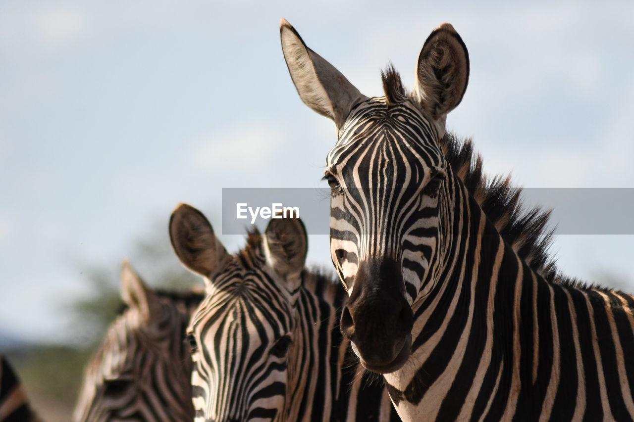 View of zebra against sky