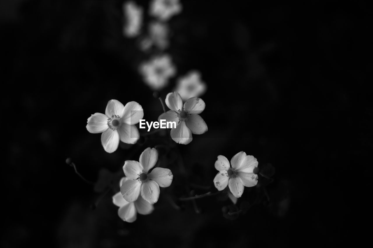 flower, petal, beauty in nature, flower head, nature, freshness, fragility, growth, blooming, plant, no people, periwinkle, outdoors, day, close-up, black background, frangipani