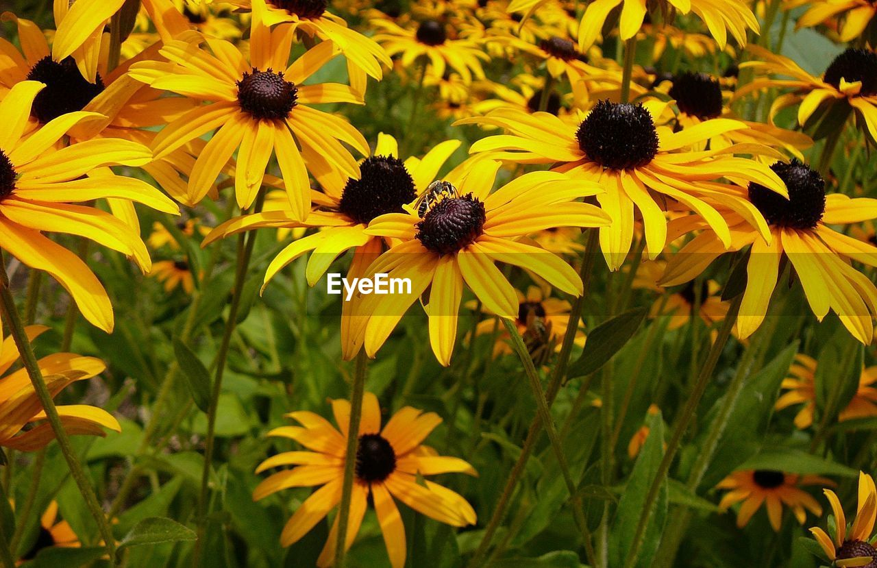 flower, flowering plant, fragility, coneflower, freshness, vulnerability, growth, petal, yellow, plant, flower head, beauty in nature, black-eyed susan, inflorescence, close-up, nature, outdoors, pollen, day, no people