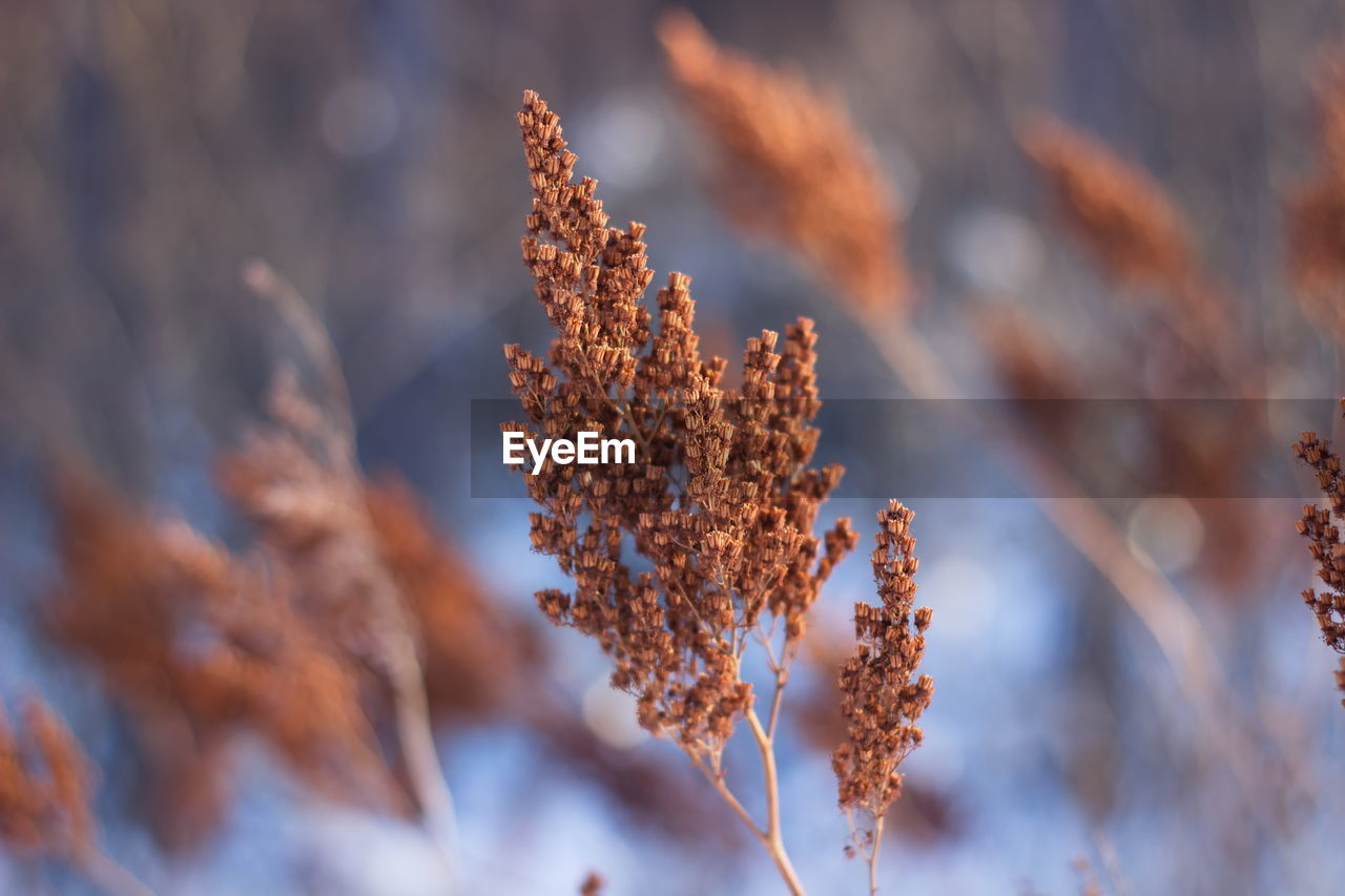 close-up, plant, beauty in nature, no people, nature, focus on foreground, growth, selective focus, day, tranquility, fragility, cold temperature, vulnerability, winter, brown, dry, snow, outdoors, flower, change, dead plant, dried