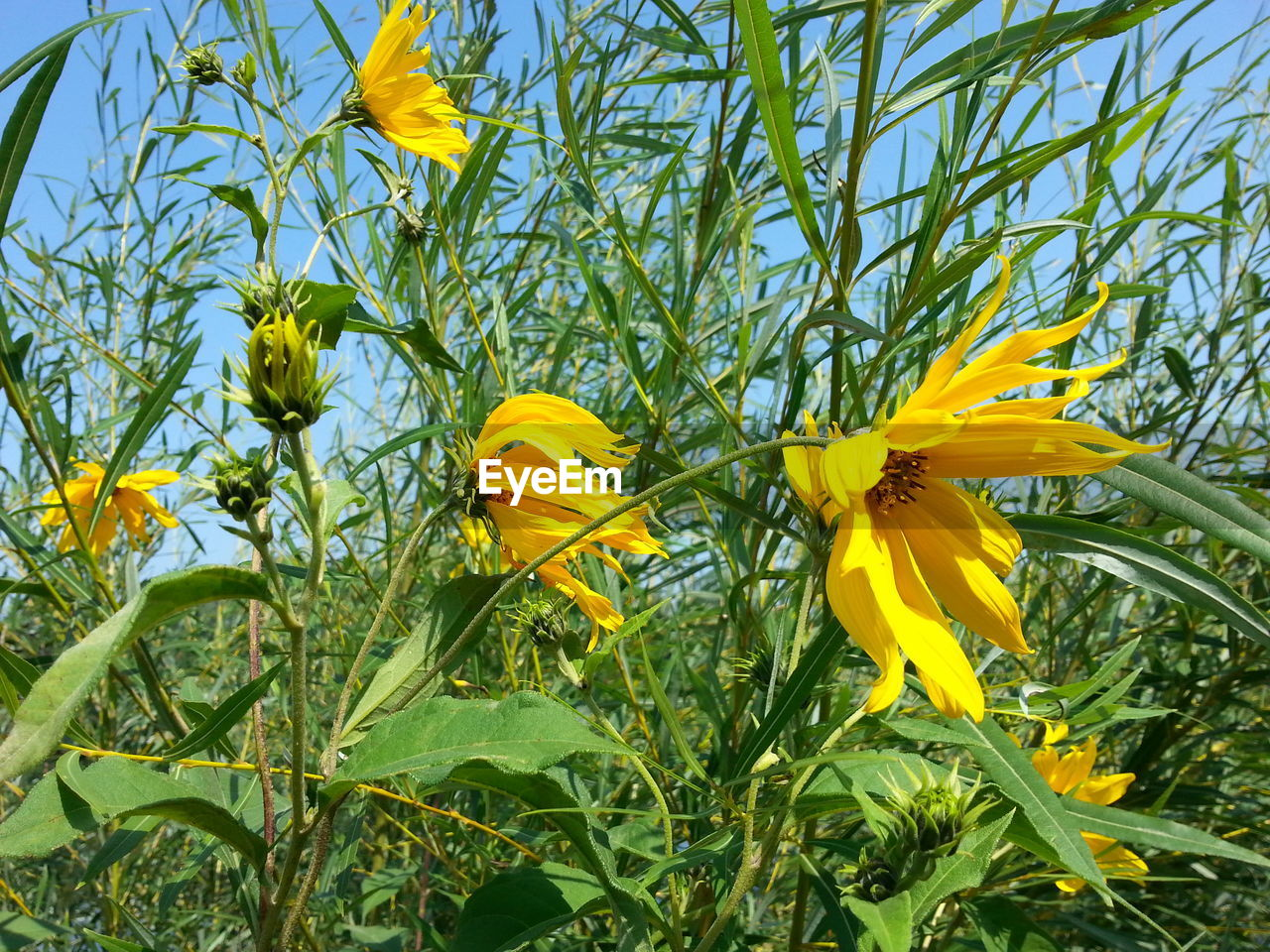 LOW ANGLE VIEW OF YELLOW SUNFLOWER AGAINST SKY