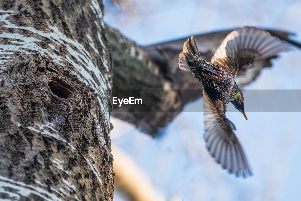animal, animal themes, animal wildlife, vertebrate, animals in the wild, bird, flying, no people, spread wings, nature, focus on foreground, one animal, tree trunk, day, tree, selective focus, trunk, close-up, outdoors