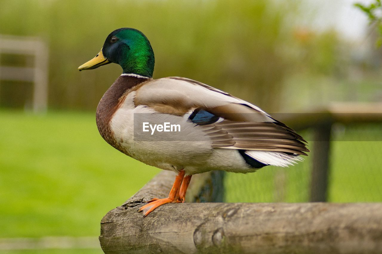 View Of Duck Standing On Wood
