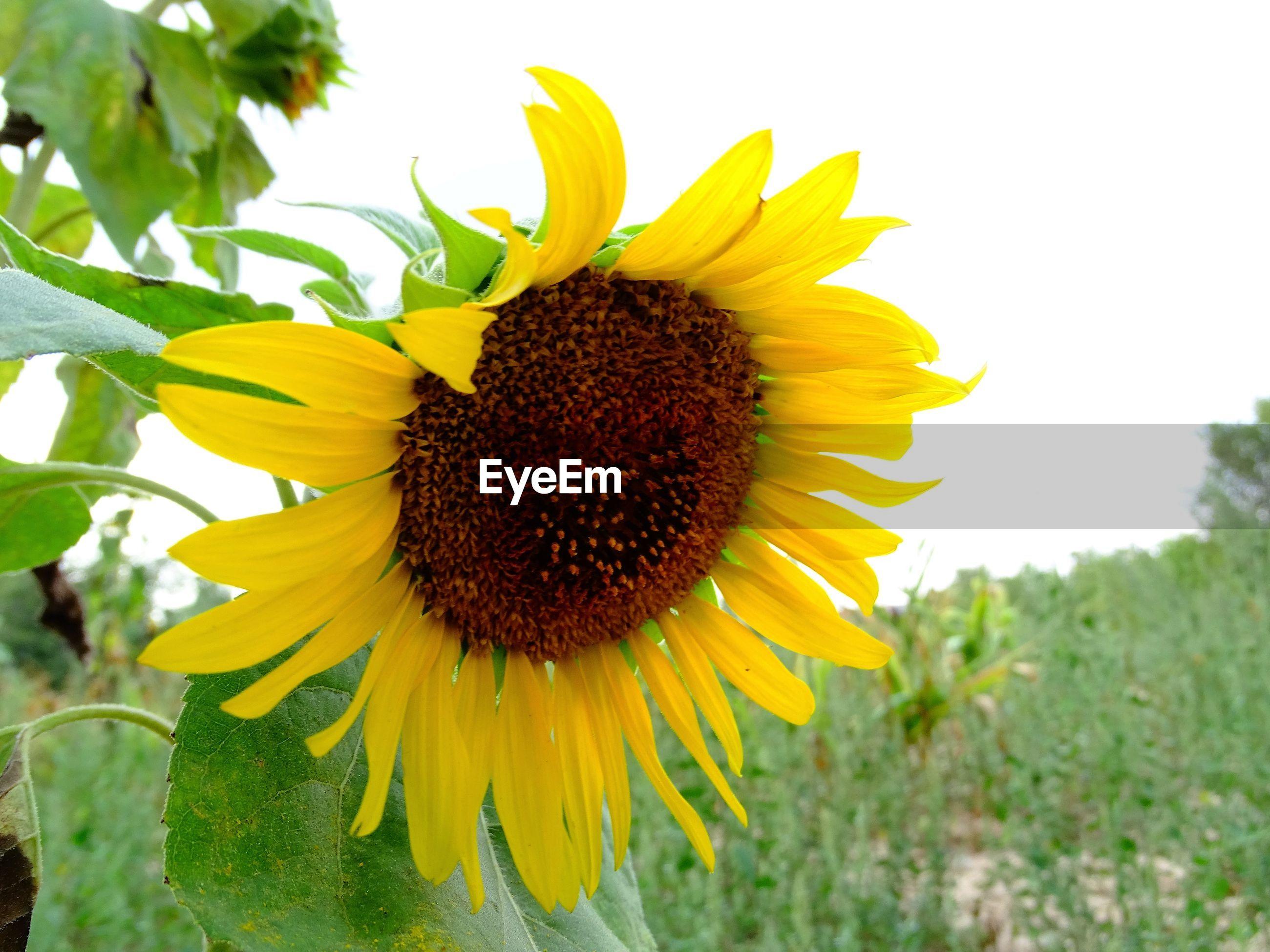 MACRO SHOT OF SUNFLOWER FLOWER