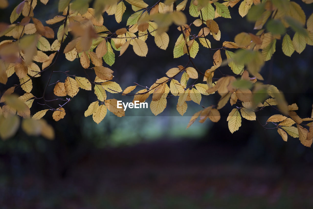 leaf, plant part, growth, plant, close-up, focus on foreground, nature, day, no people, tree, beauty in nature, outdoors, selective focus, vulnerability, fragility, autumn, tranquility, branch, change, leaves