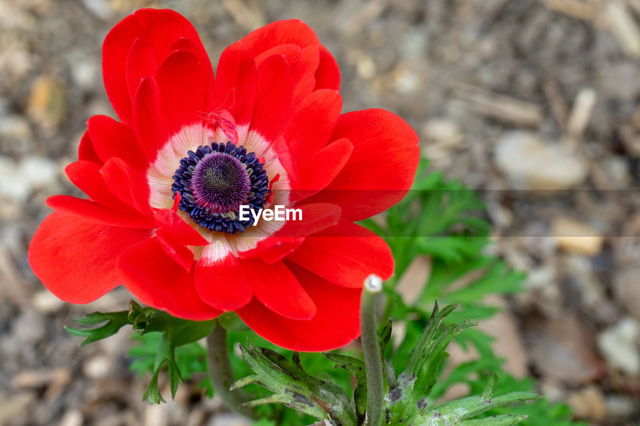 flowering plant, flower, petal, plant, flower head, freshness, fragility, growth, vulnerability, inflorescence, beauty in nature, close-up, nature, focus on foreground, red, day, pollen, no people, botany, gazania