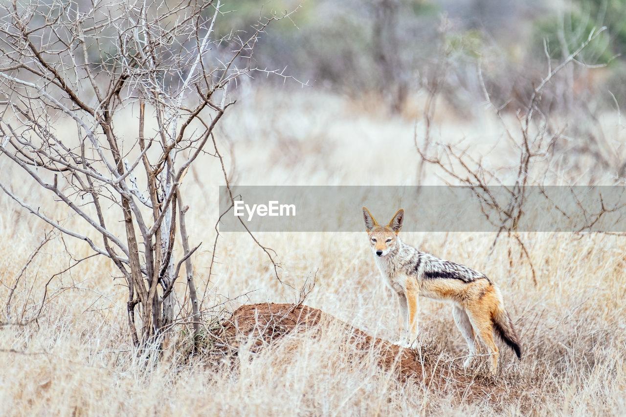 Black-backed jackal near its den