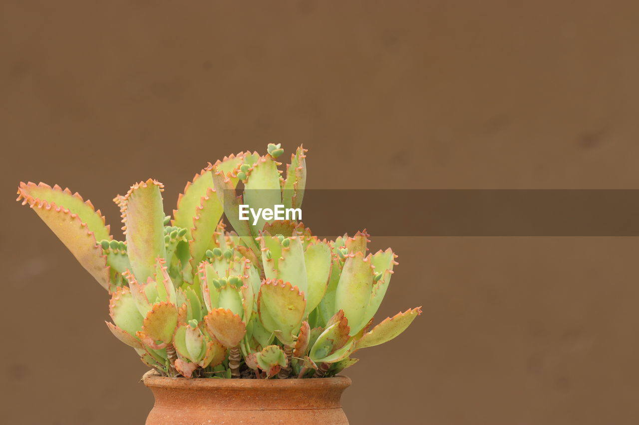 succulent plant, potted plant, plant, cactus, growth, green color, close-up, no people, nature, beauty in nature, plant part, freshness, thorn, leaf, spiked, indoors, day, vulnerability, botany, houseplant, flower pot