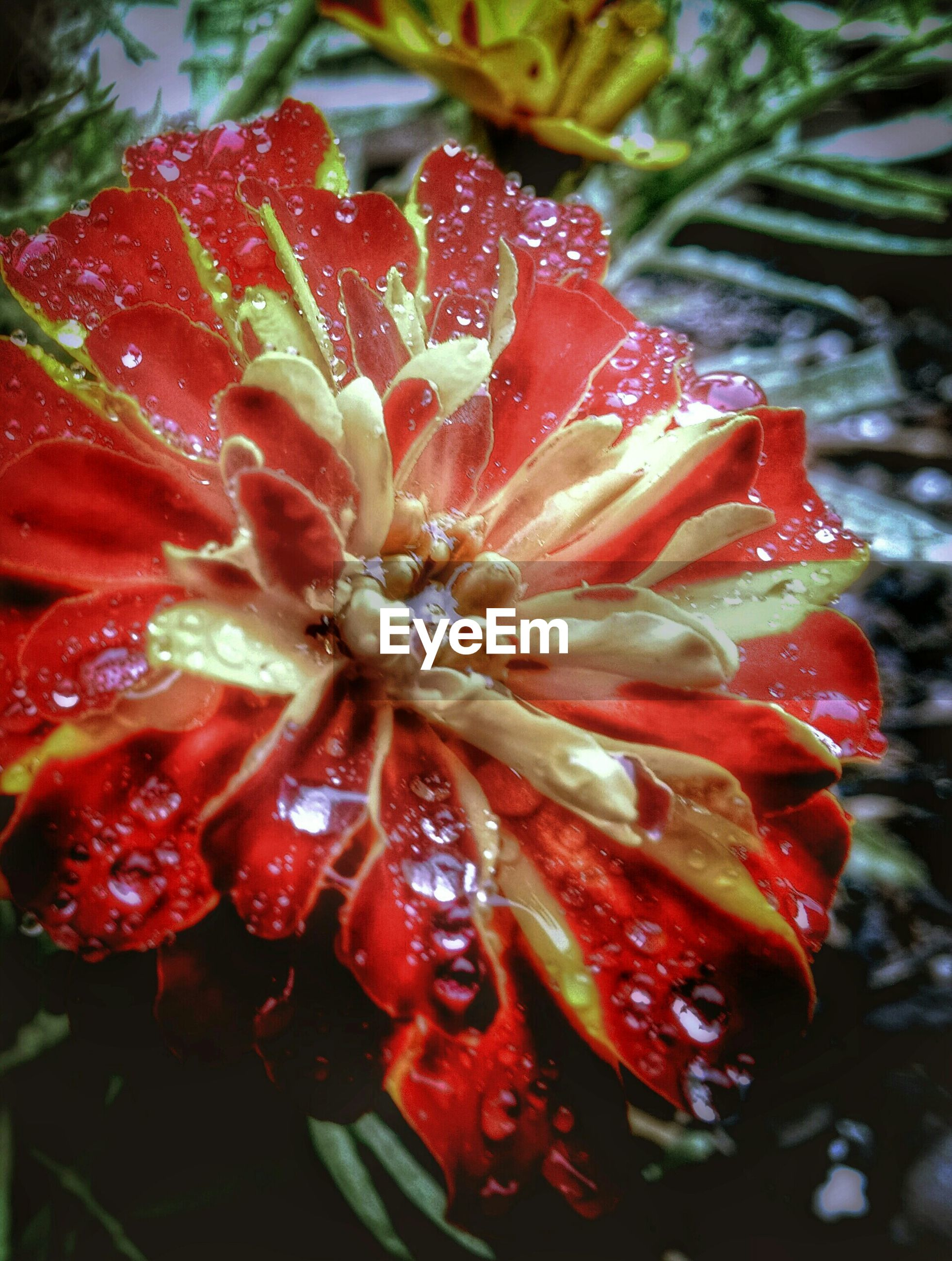 Close-up of wet red flower in yard