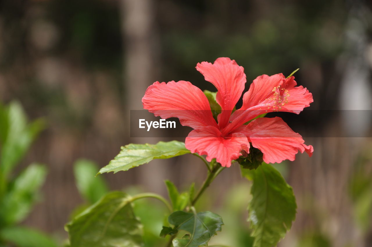 flowering plant, flower, plant, fragility, vulnerability, beauty in nature, growth, petal, freshness, flower head, inflorescence, close-up, focus on foreground, red, day, plant part, hibiscus, leaf, nature, no people, outdoors, pollen