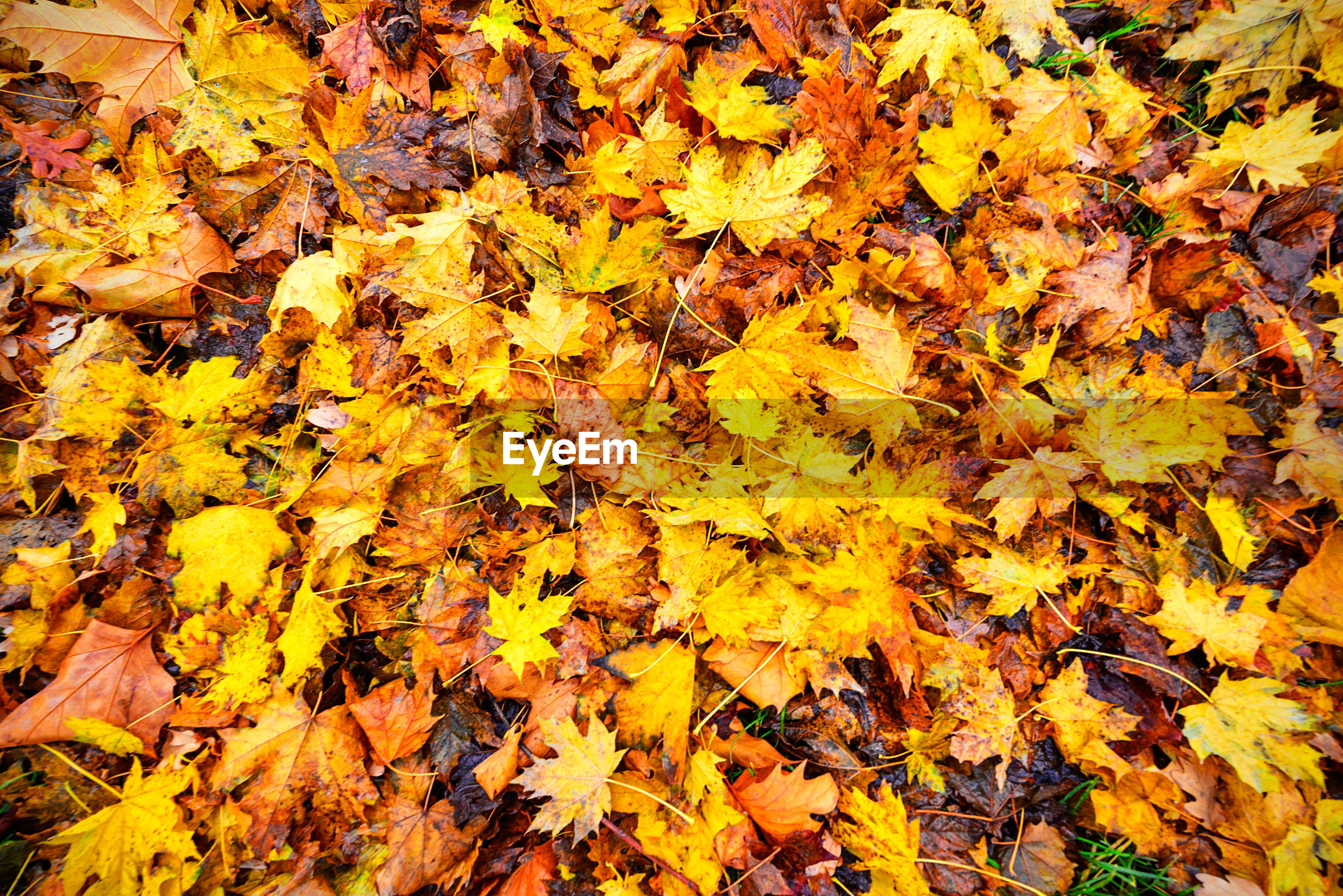 HIGH ANGLE VIEW OF YELLOW MAPLE LEAVES ON AUTUMNAL TREE