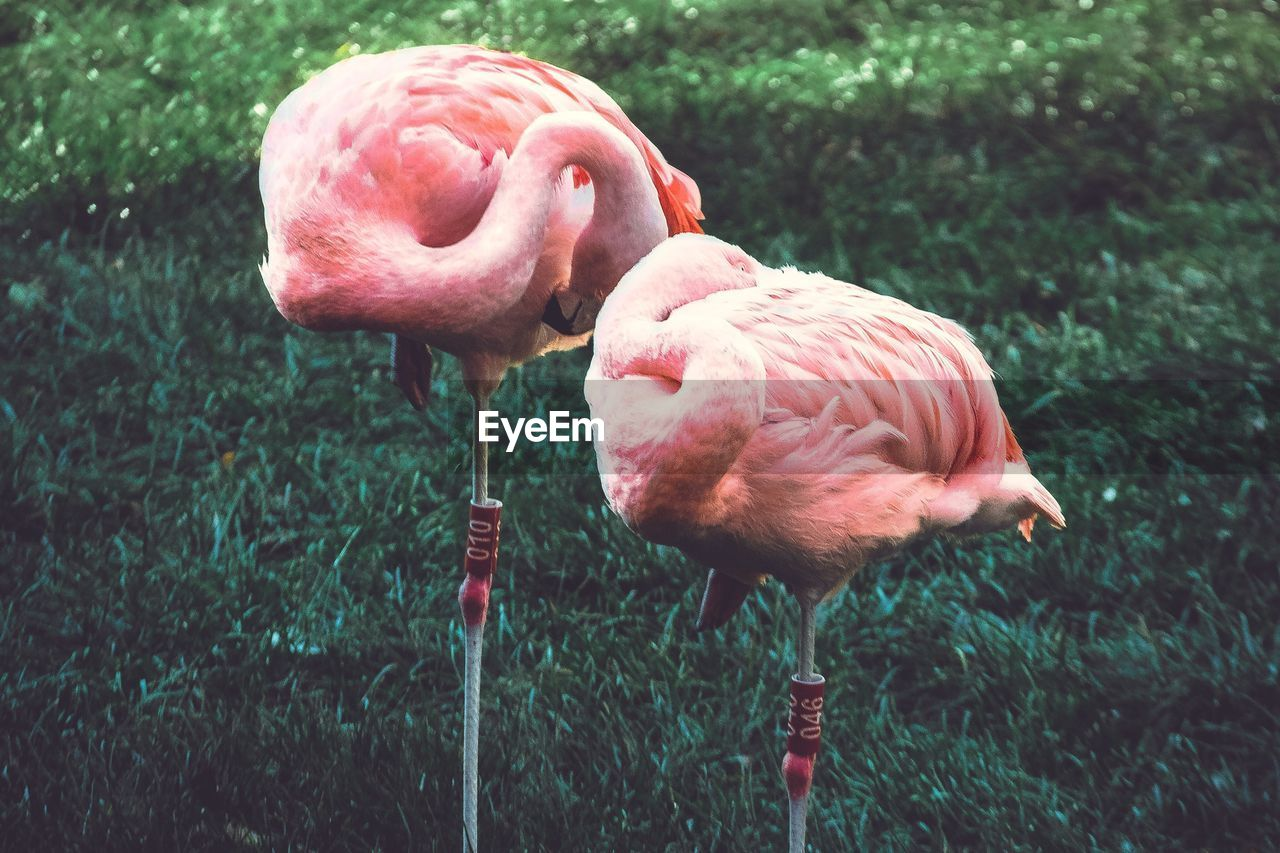 Close-up of flamingoes standing on grassy field