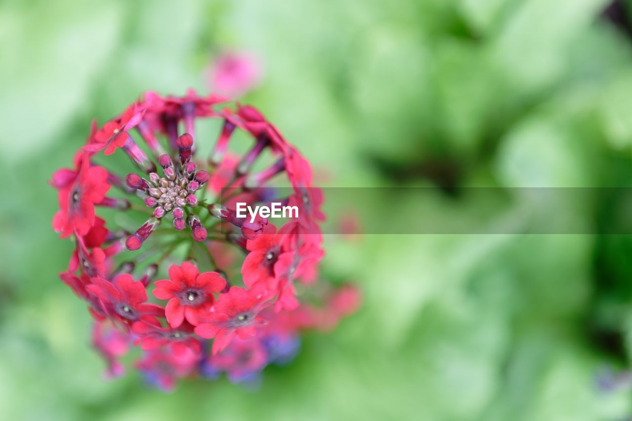 High Angle View Of Red Flowers Blooming In Garden