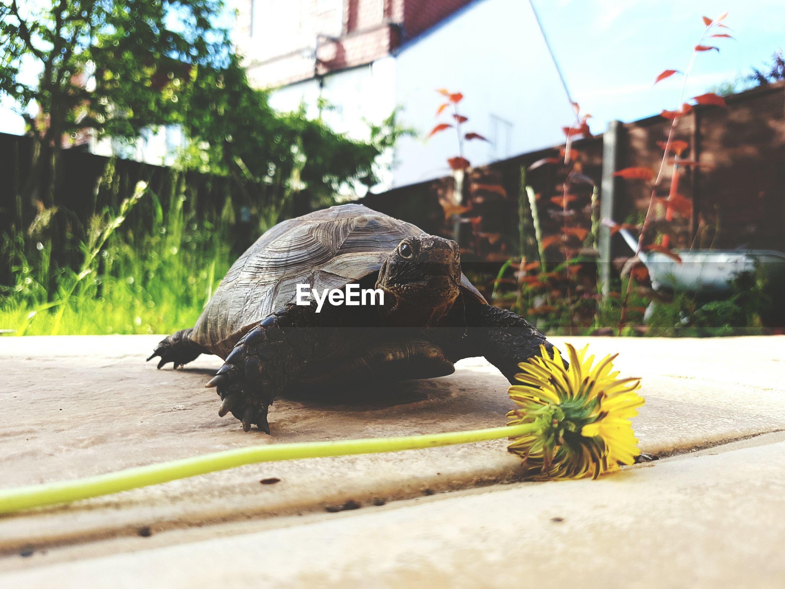 Tortoise reaching flower to feed
