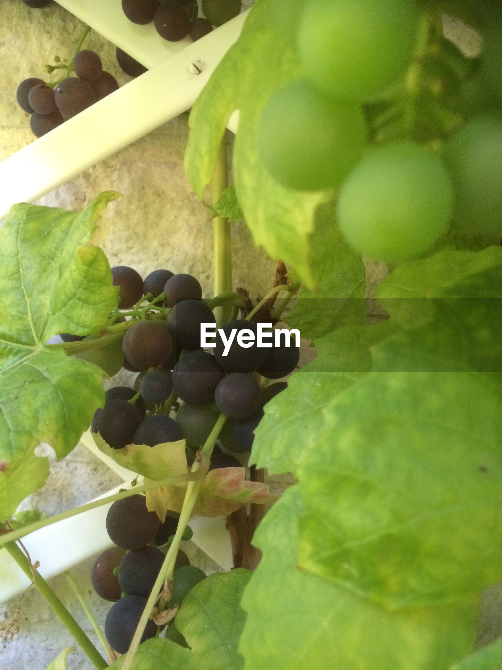 fruit, food and drink, food, close-up, freshness, grape, healthy eating, leaf, growth, green color, selective focus, agriculture, vine, vineyard, nature, day, bunch, focus on foreground, rural scene
