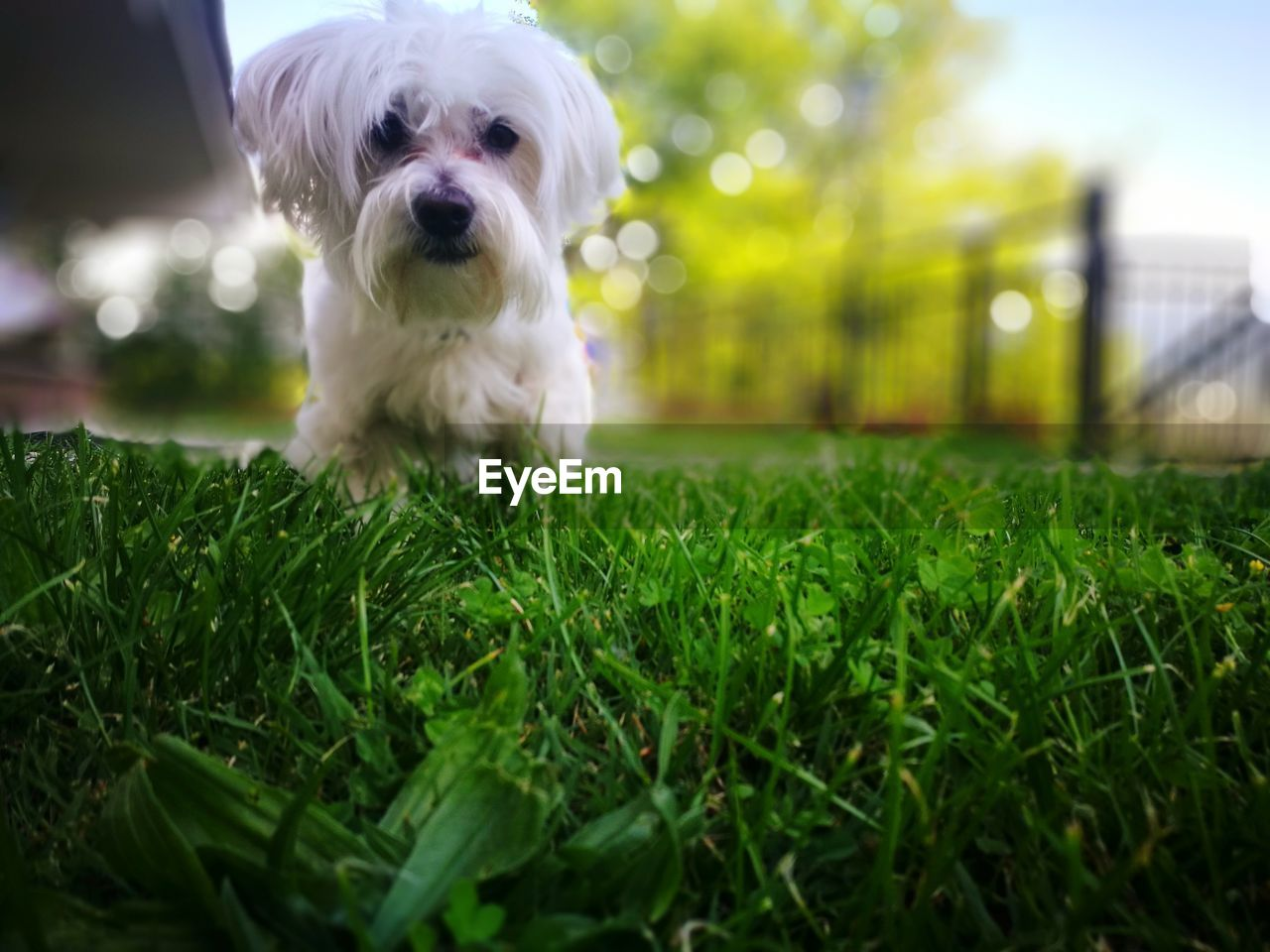 domestic, one animal, pets, canine, dog, domestic animals, mammal, animal themes, grass, animal, plant, green color, selective focus, vertebrate, no people, nature, looking at camera, field, portrait, land, outdoors, small, shih tzu, surface level
