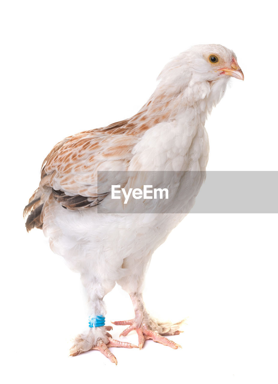 Close-Up Of Baby Chicken Against White Background