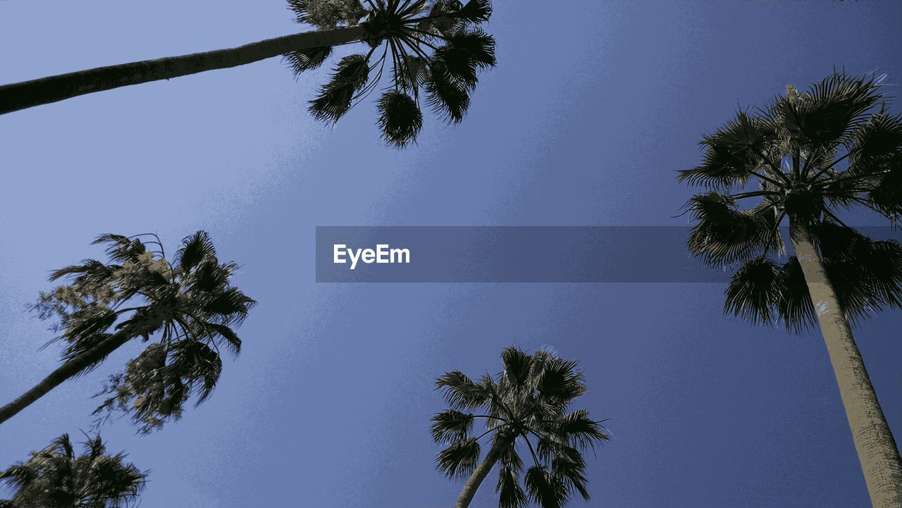 palm tree, tree, tree trunk, low angle view, beauty in nature, growth, nature, sky, blue, palm frond, tropical climate, day, clear sky, tranquility, no people, scenics, outdoors, tall, branch