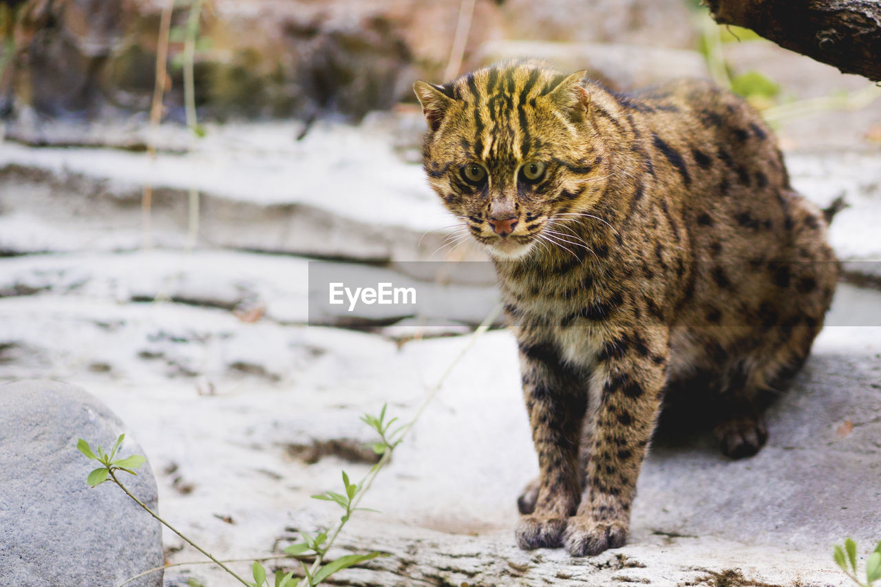 animal themes, one animal, animal, mammal, feline, cat, pets, domestic animals, vertebrate, domestic cat, no people, day, domestic, focus on foreground, nature, whisker, looking at camera, walking, portrait, tabby