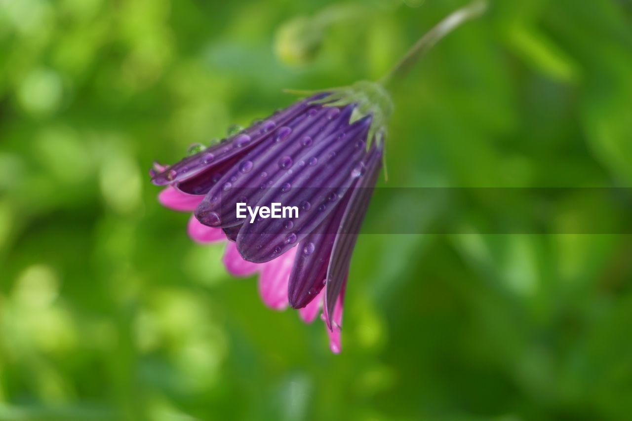 flower, nature, purple, fragility, growth, beauty in nature, plant, freshness, green color, no people, outdoors, day, blooming, flower head, close-up