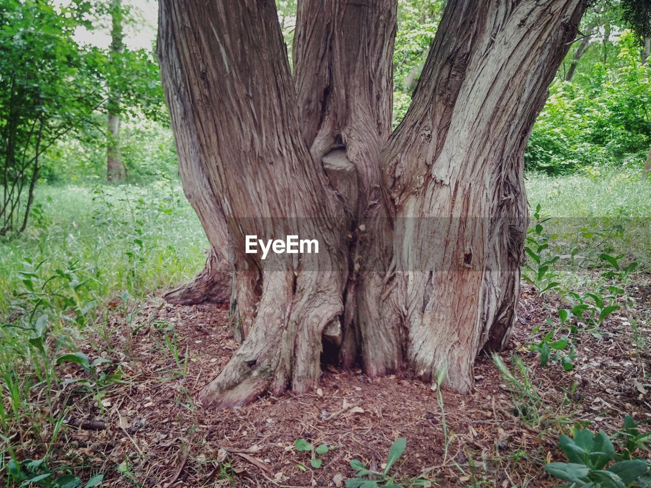 tree, plant, tree trunk, trunk, land, nature, forest, no people, growth, day, plant part, outdoors, field, tranquility, landscape, root, environment, grass, wood - material, beauty in nature, bark