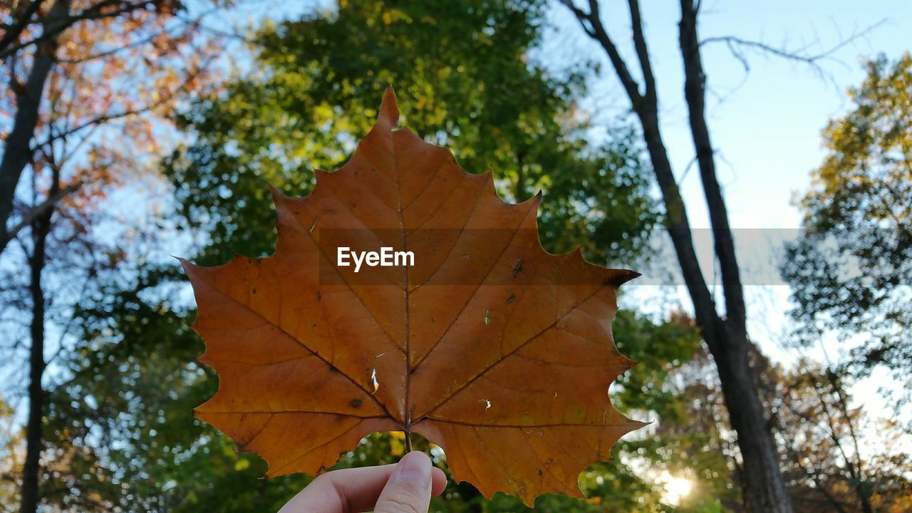 autumn, leaf, human hand, one person, real people, tree, unrecognizable person, holding, change, focus on foreground, maple leaf, human body part, personal perspective, outdoors, day, close-up, lifestyles, nature, beauty in nature, maple, branch, sky, people