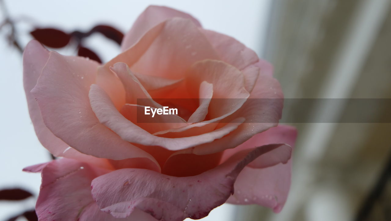 beauty in nature, flowering plant, flower, petal, fragility, vulnerability, plant, freshness, close-up, rose, flower head, inflorescence, rose - flower, nature, focus on foreground, growth, day, outdoors, no people, softness, raindrop