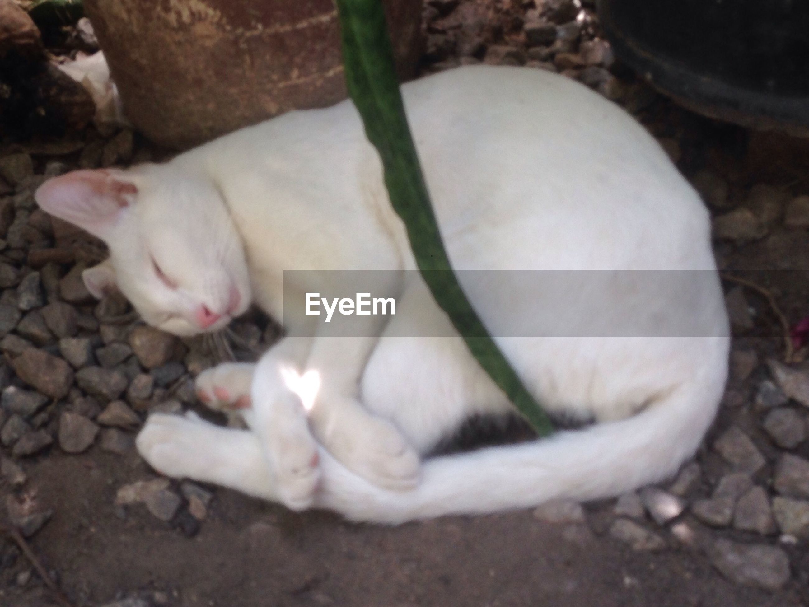 animal themes, animal, one animal, mammal, white color, vertebrate, pets, domestic, domestic animals, no people, relaxation, nature, domestic cat, close-up, day, high angle view, cat, feline, outdoors, white, mouth open
