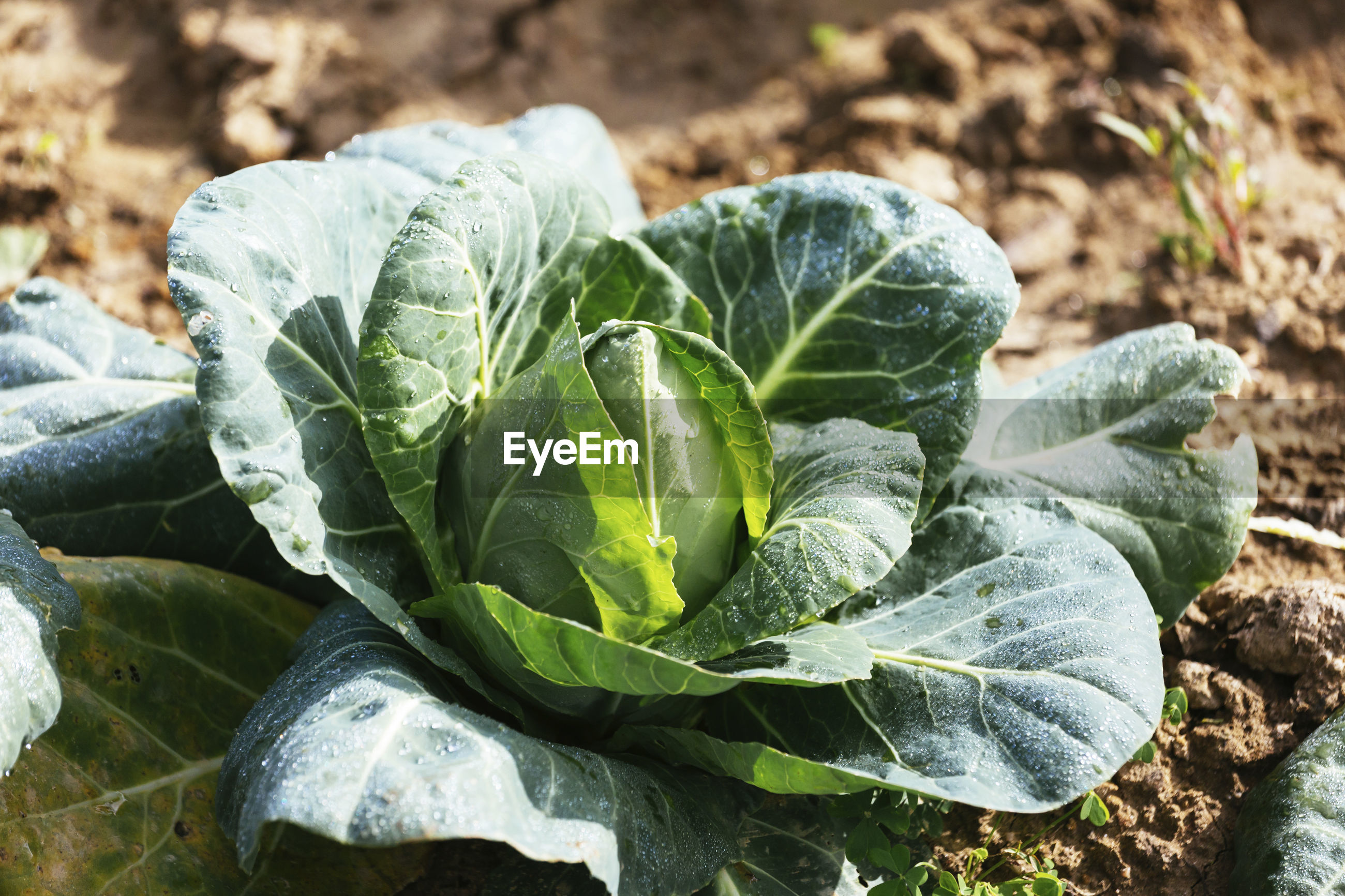 Close-up of cabbage growing in garden