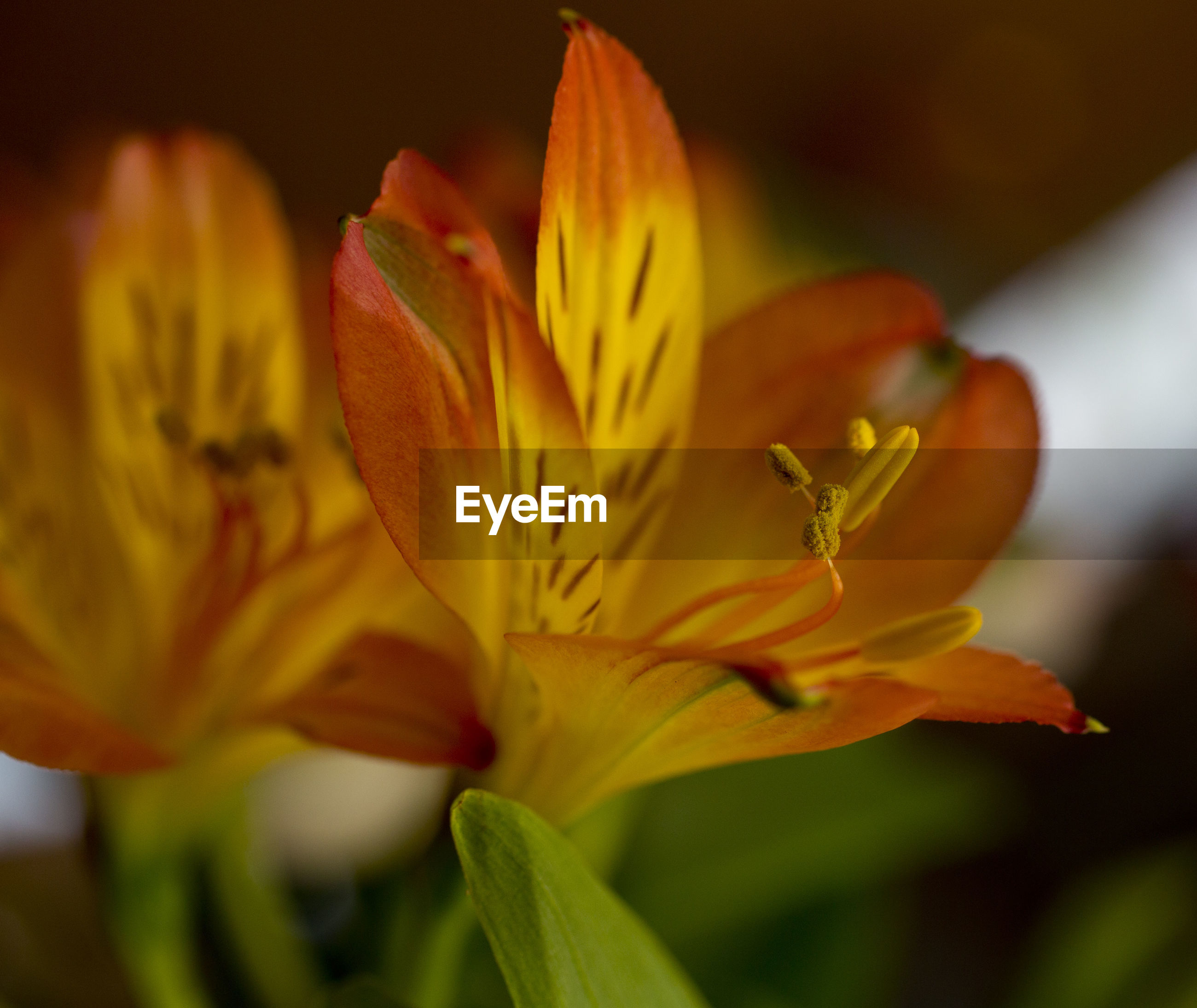 CLOSE-UP OF DAY LILY BLOOMING