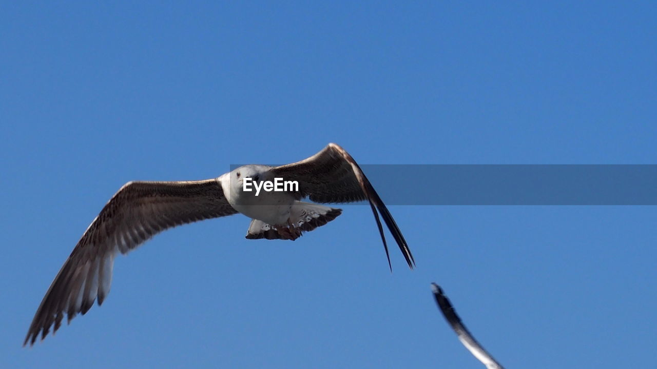 vertebrate, animal themes, animal, bird, spread wings, one animal, sky, animals in the wild, flying, animal wildlife, low angle view, clear sky, copy space, nature, blue, mid-air, no people, motion, day, bird of prey, outdoors, eagle