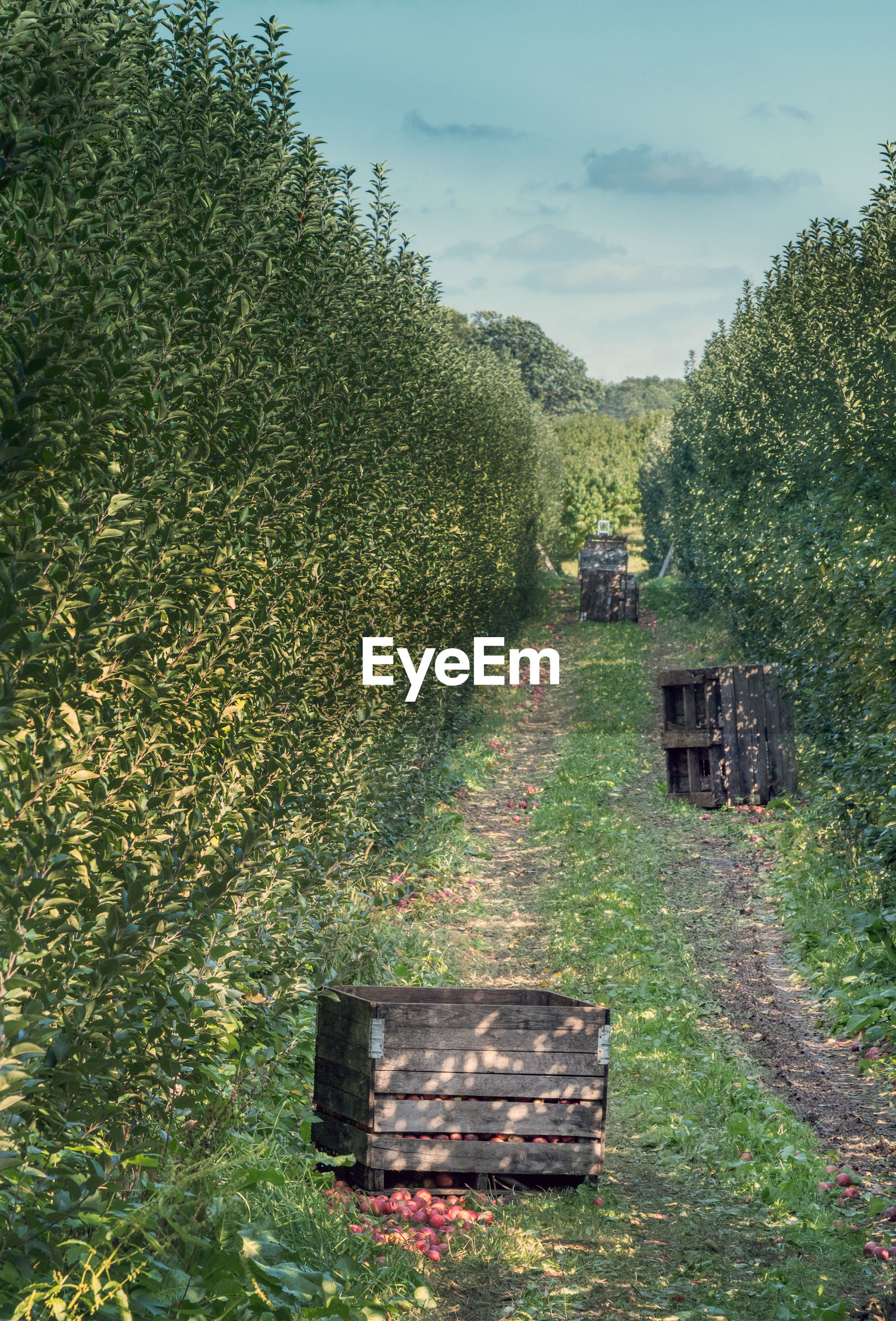 Crates of fresh michigan apples are being picked in this apple orchard in michigan usa