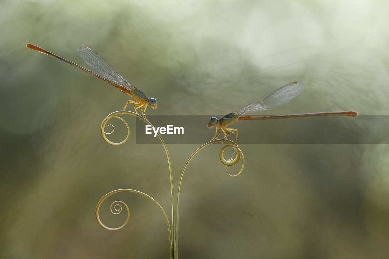 CLOSE-UP OF DRAGONFLY PLANT