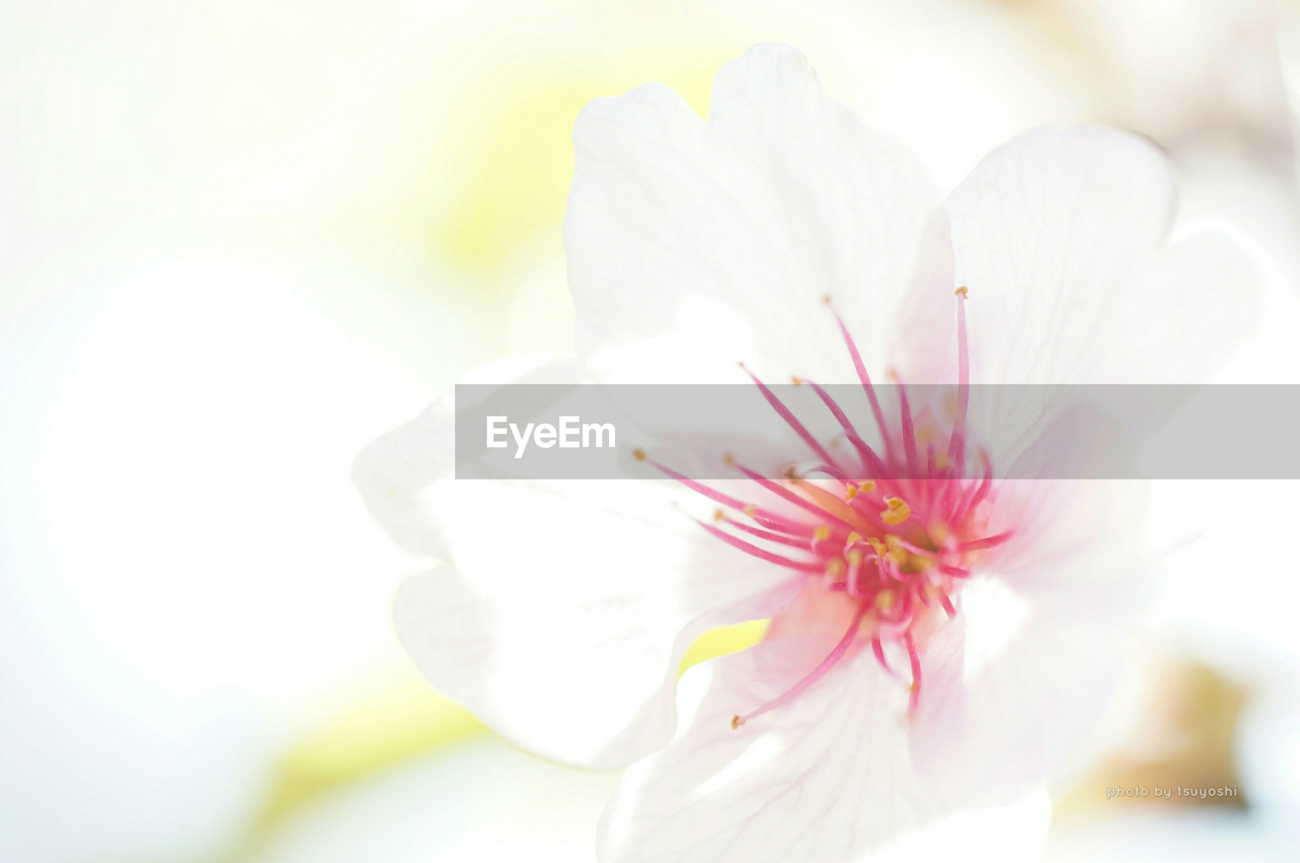 flower, petal, freshness, fragility, flower head, beauty in nature, growth, close-up, nature, blooming, stamen, focus on foreground, pollen, in bloom, white color, selective focus, blossom, single flower, pink color, plant