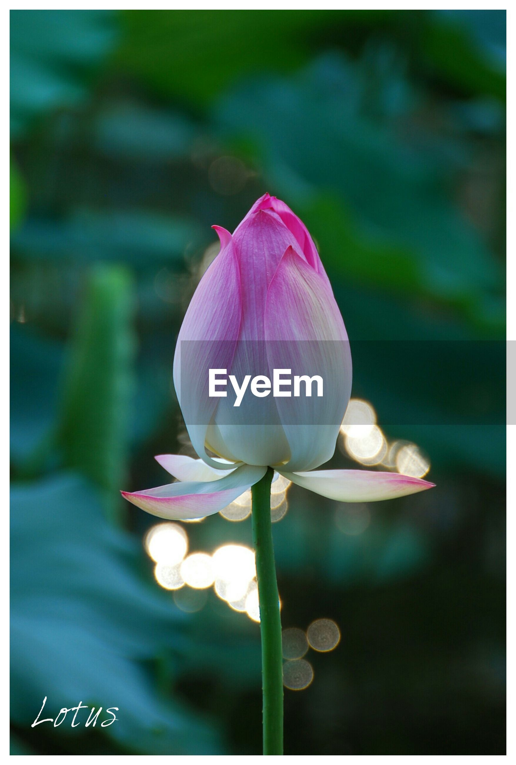 flower, freshness, petal, fragility, growth, flower head, beauty in nature, close-up, pink color, nature, focus on foreground, bud, transfer print, plant, blooming, stem, single flower, in bloom, purple, auto post production filter