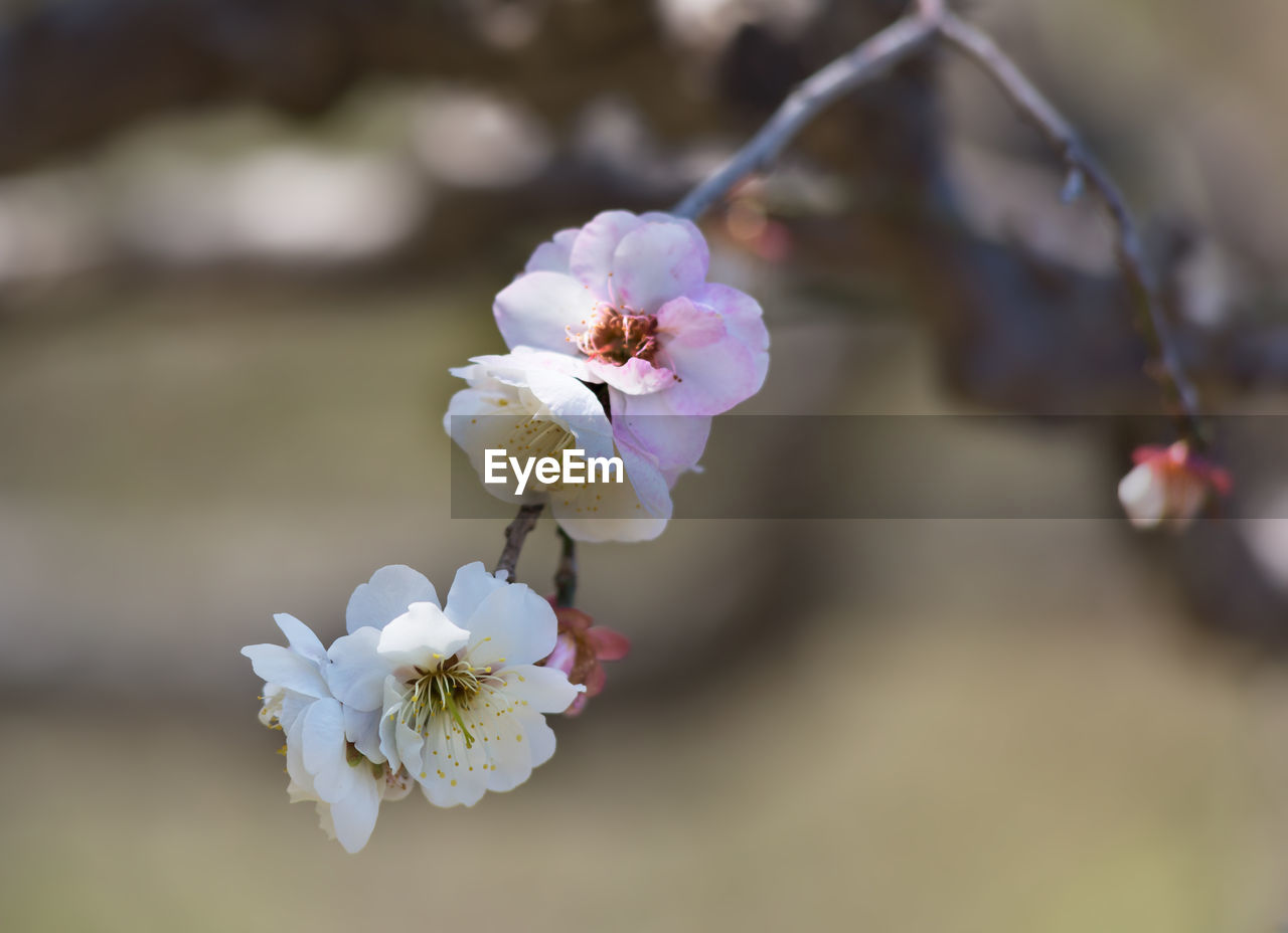 flowering plant, flower, plant, freshness, fragility, beauty in nature, growth, close-up, petal, vulnerability, inflorescence, flower head, focus on foreground, nature, white color, day, no people, pink color, tree, outdoors, pollen, springtime, cherry blossom, cherry tree