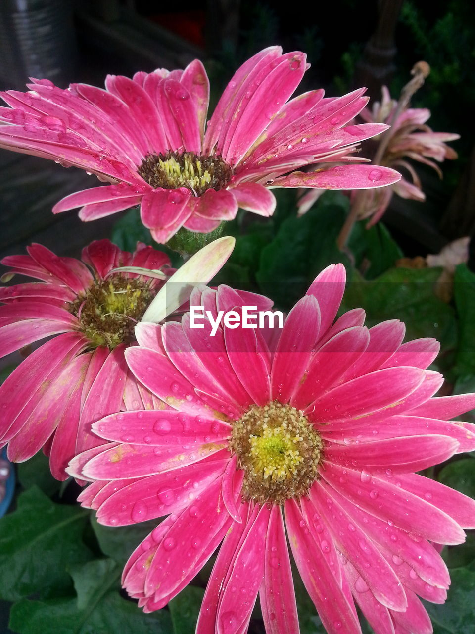 flower, petal, growth, fragility, flower head, pink color, nature, beauty in nature, freshness, plant, blooming, pollen, outdoors, no people, day, close-up