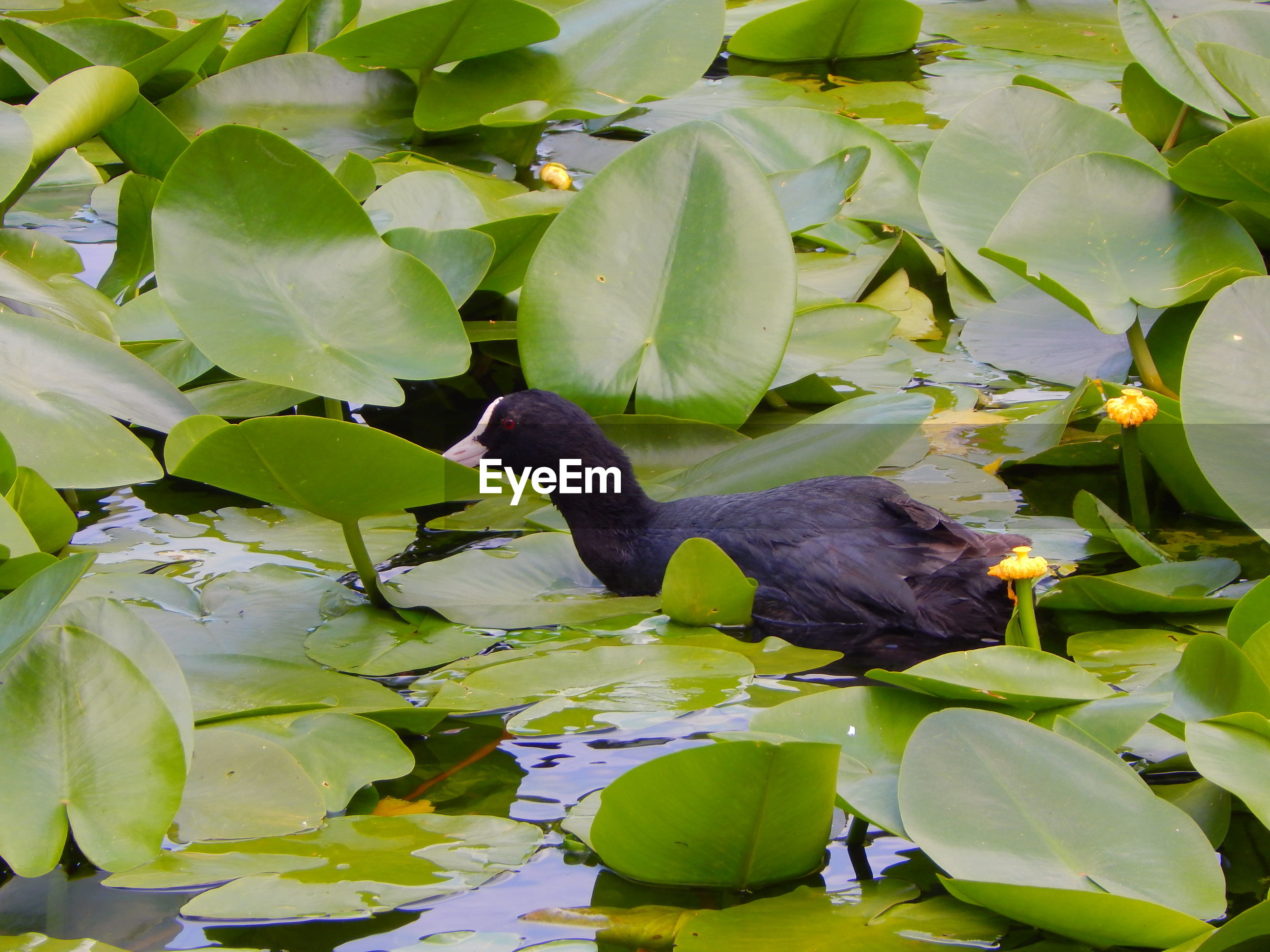 Coot amidst leaves in pond