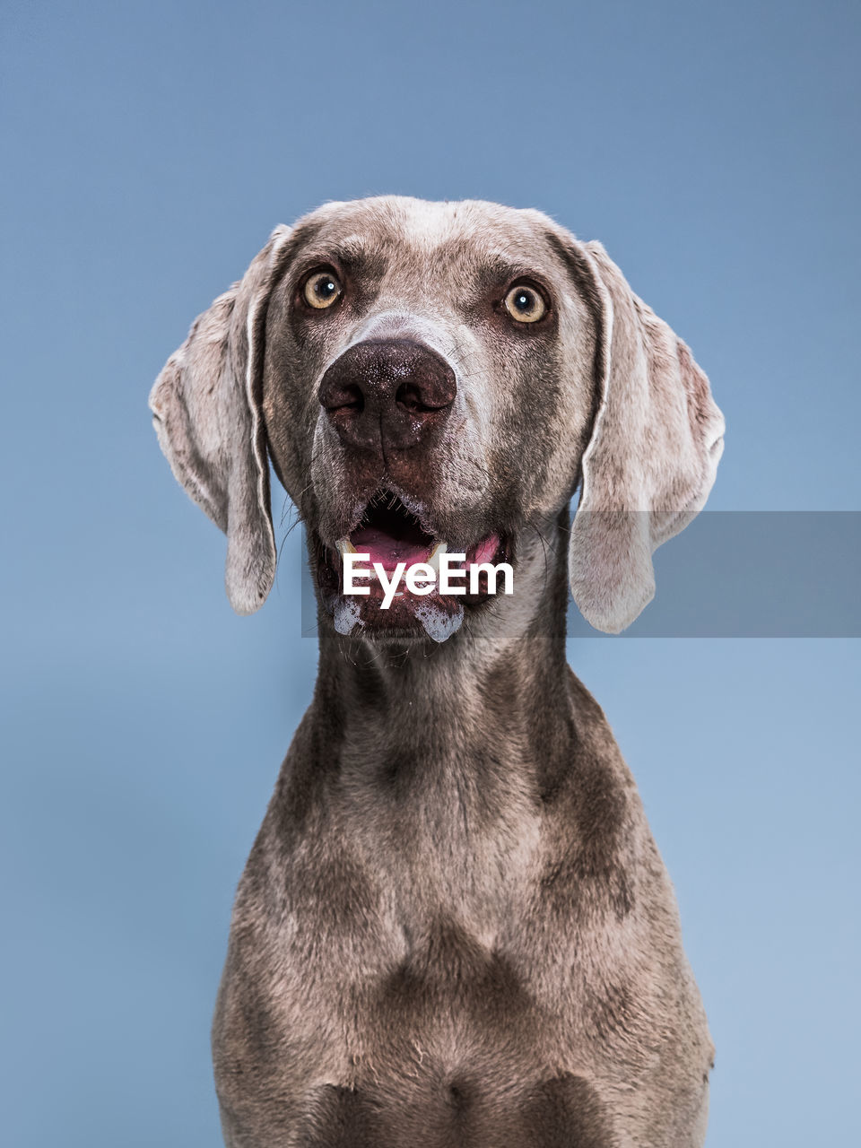 canine, dog, one animal, domestic, domestic animals, pets, mammal, animal themes, animal, portrait, vertebrate, looking at camera, weimaraner, no people, sky, blue, close-up, looking, front view, studio shot, blue background, mouth open