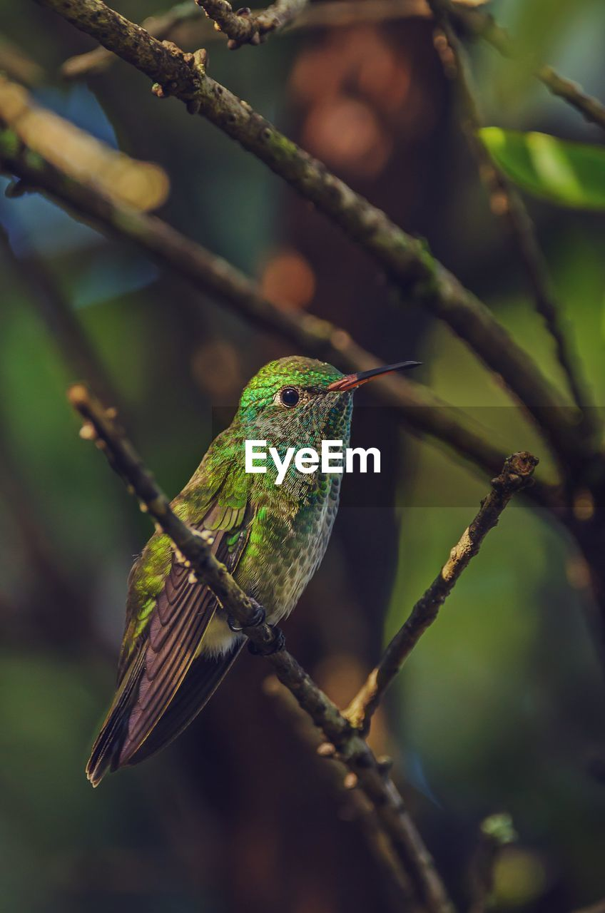 animal themes, vertebrate, animal, animal wildlife, animals in the wild, one animal, bird, perching, branch, plant, focus on foreground, tree, close-up, no people, nature, green color, beauty in nature, day, outdoors, selective focus