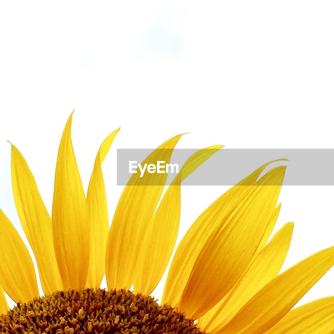 flower, petal, beauty in nature, growth, nature, fragility, freshness, sunflower, flower head, plant, no people, close-up, white background, blooming, outdoors, day