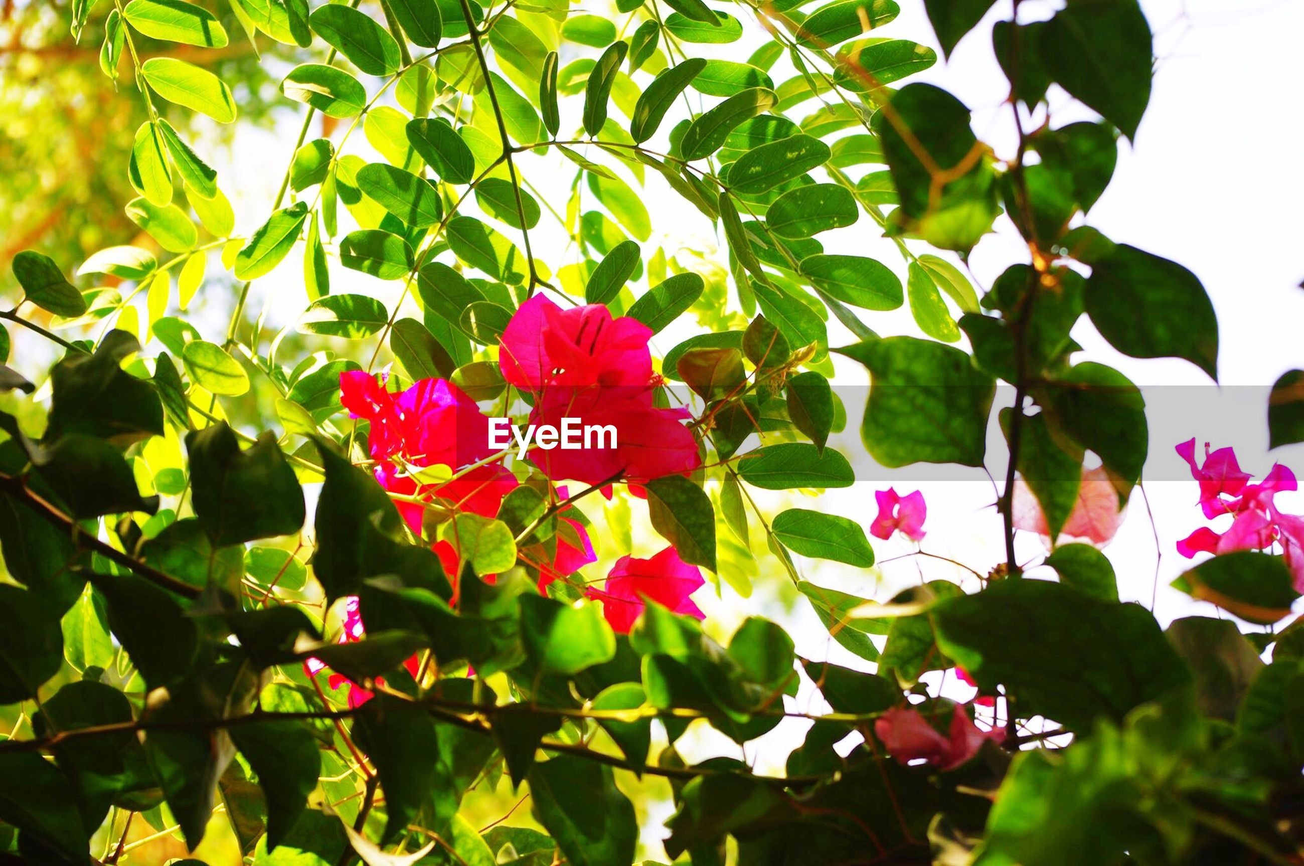 flower, freshness, leaf, growth, fragility, close-up, beauty in nature, petal, pink color, in bloom, springtime, nature, botany, plant, green color, flower head, selective focus, blossom, red, day, vibrant color, branch, outdoors, green, focus on foreground, softness, blooming, tranquility