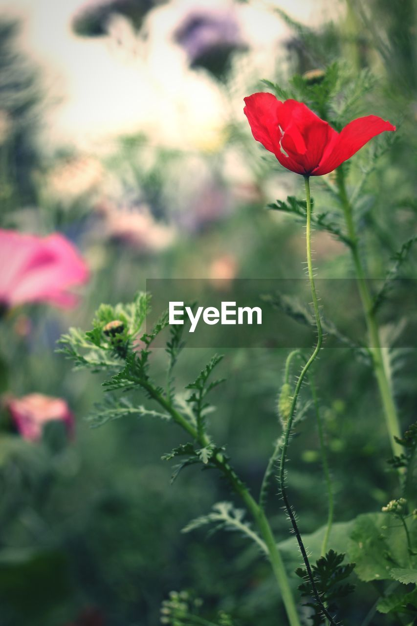 plant, flower, flowering plant, beauty in nature, fragility, petal, growth, freshness, vulnerability, red, close-up, nature, flower head, inflorescence, focus on foreground, selective focus, plant stem, no people, day, green color, outdoors, sepal